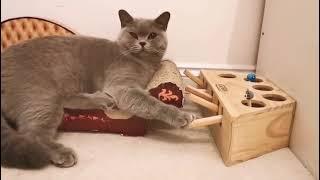 Intelligent British Shorthair Cat