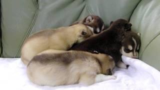 2010年1月14日生まれのシベリアンハスキーの子犬です。 http://wanboh.n...