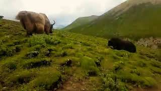 Deadly yak fight from Tibet 2019