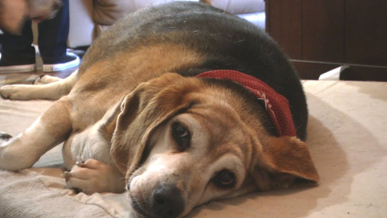 Overweight Beagle Named Wolfgang Takes On Epic Weight Loss Journey