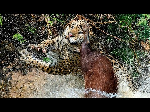 Best Hunting Collection Of The Jaguar | Yaguareté Cazando | JAGUAR HUNTING