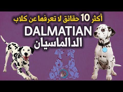 أكثر 10 حقائق لا تعرفها عن كلب الدالماسيان   الدالماسي   Dalmatian Dog   Dalmatien