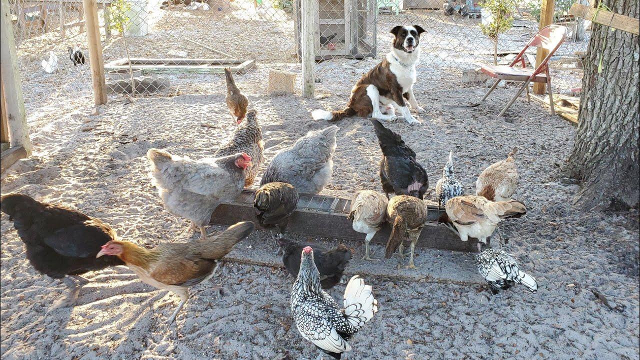 Reorganizando gallos en jaulas