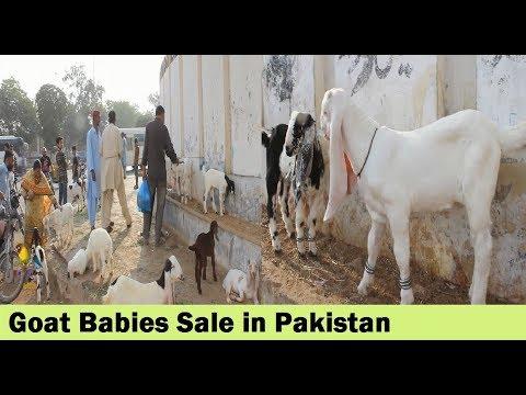 Bakri K Bachey Sale in Pakistan - Bakra Mandi