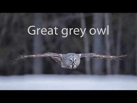 Great Grey Owl Hunting Mouse.