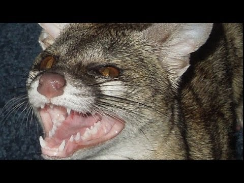 Exotic Pet Sounds: Spotted Genet Noises!