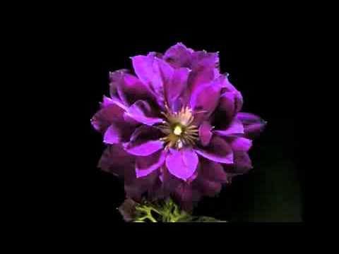 Видео как распускаются цветы