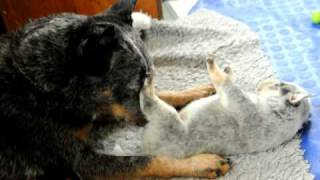 Australian Cattle Dog Mother And Pups