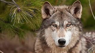 Фильм Волк который живет среди людей