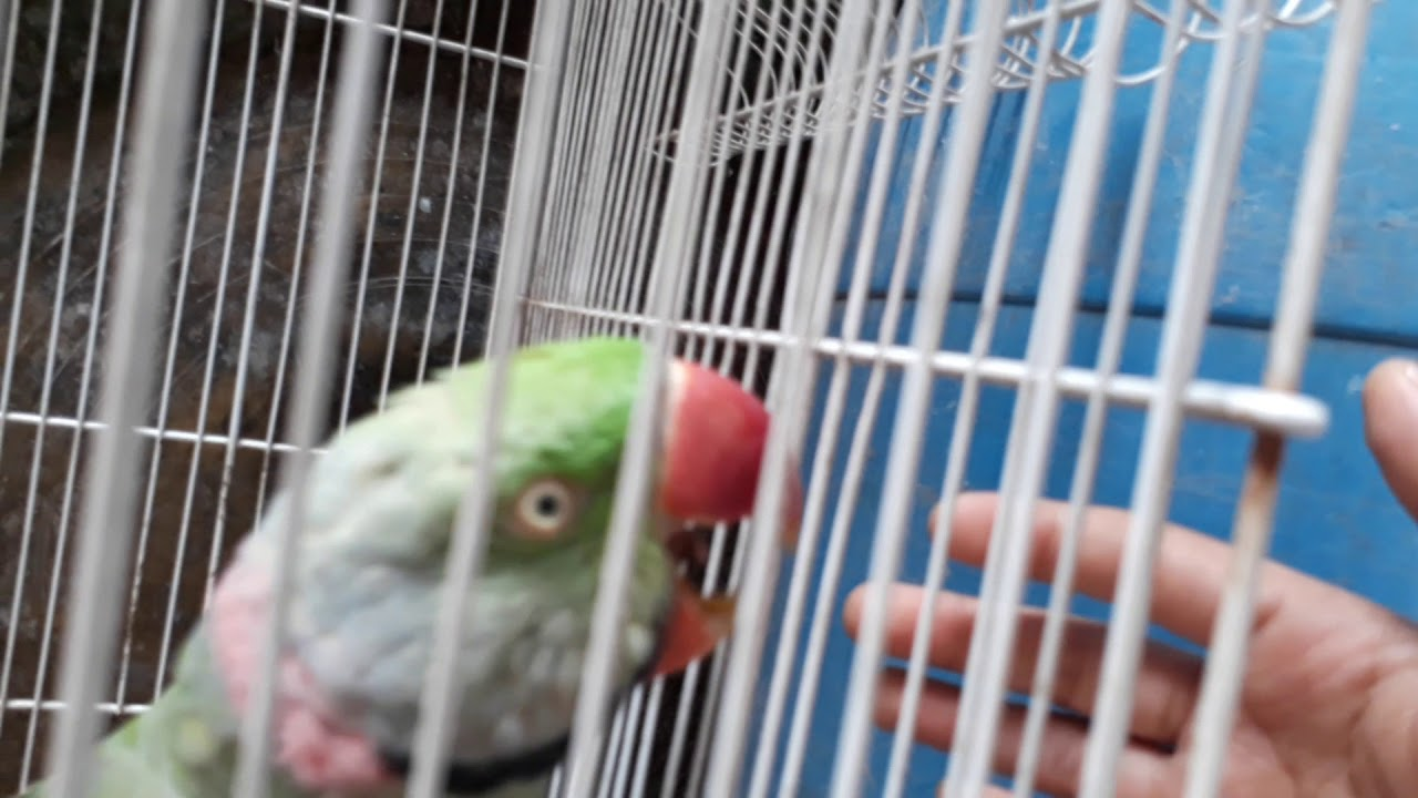 My parrot bites very fast - YouTube - photo#35
