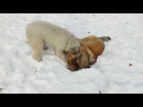 Komondor female plays with Tibetian mastiff male: pretty hard