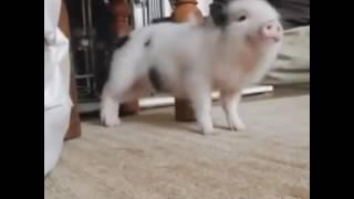 Twerk façon cochon