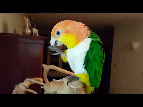 White bellied caique Storm is a sweet parrot, do a thumb up as the movie like