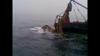 Огромный кит попался в трал!!!