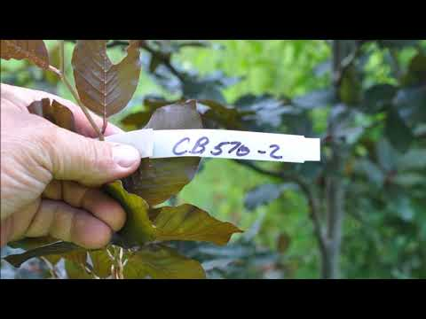 The Copper Beech    We grow in Bucks County Pa