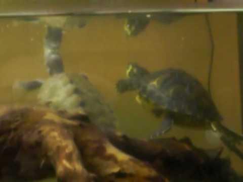 tartarughe nell acquario youtube