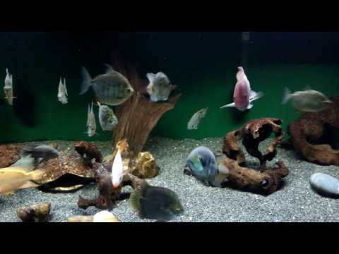 CA Cichlid Community and Friends