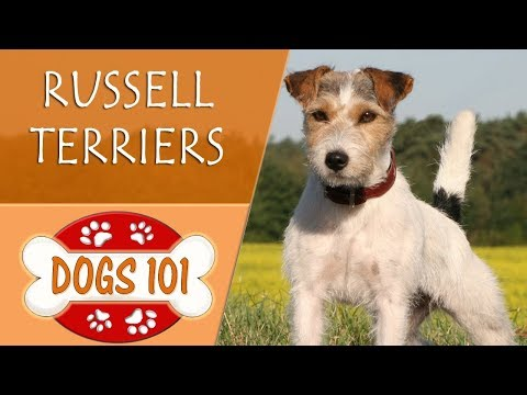 Dogs 101 - RUSSELL TERRIER - Top Dog Facts About the RUSSELL TERRIER