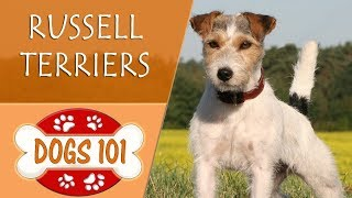 Dogs 101  RUSSELL TERRIER  Top Dog Facts About the RUSSELL TERRIER