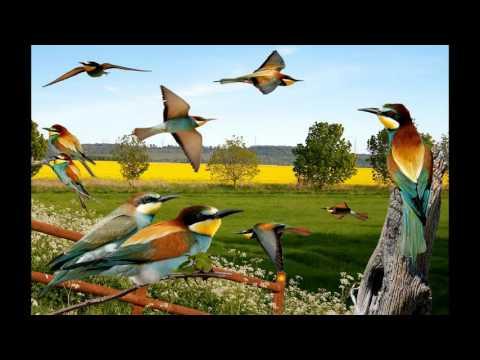 European Bee-eater sound / صوت الوروار الاوروبي