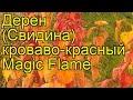 Дерен кроваво-красный Магиc Фламе. Краткий обзор, описание cornus sanguinea Magic Flame
