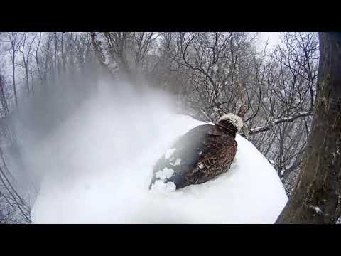 Hanover Eagles - Snow continues as Freedom covers the eggs-3-21-18
