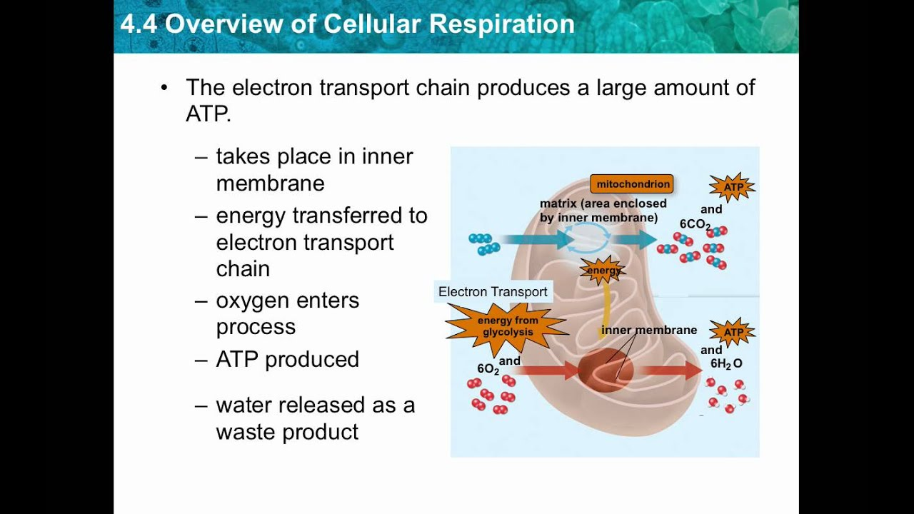 photosynthesis and cellular respiration diagram sheep brain dissection chapter 4.4- overview of - youtube