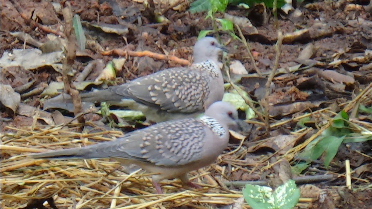 Paddy-eating Spotted doves / ಭತ್ತ ತಿನ್ನುವ  ಚೋರೆ ಹಕ್ಕಿಗಳು