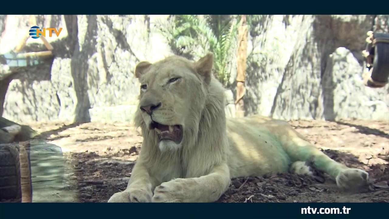 Sư tử Săn mồi cực đỉnh : hươu , linh dương nhưng lần thứ 3 lại Thê Thảm Cú Sút uy lực nhất ile ilgili görsel sonucu