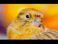 Best Canary Singing Live Serinus Canaria  Mp3 - Mp4 Download