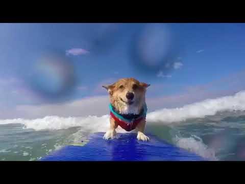 Corgi Surfing