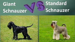 Giant Schnauzer VS Standard Schnauzer  Breed Comparison