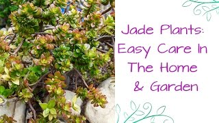Jade Plants: So Easy To Care For In The Home & In The Garden