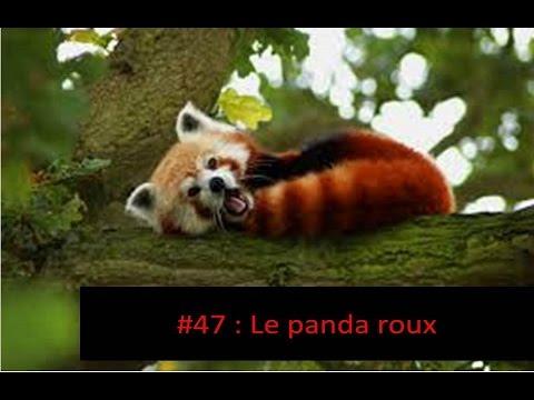 tout sur les animaux 47 le panda roux youtube. Black Bedroom Furniture Sets. Home Design Ideas