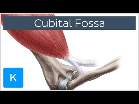 Cubital Fossa - Anatomy, Definition and Location - Human Anatomy |Kenhub