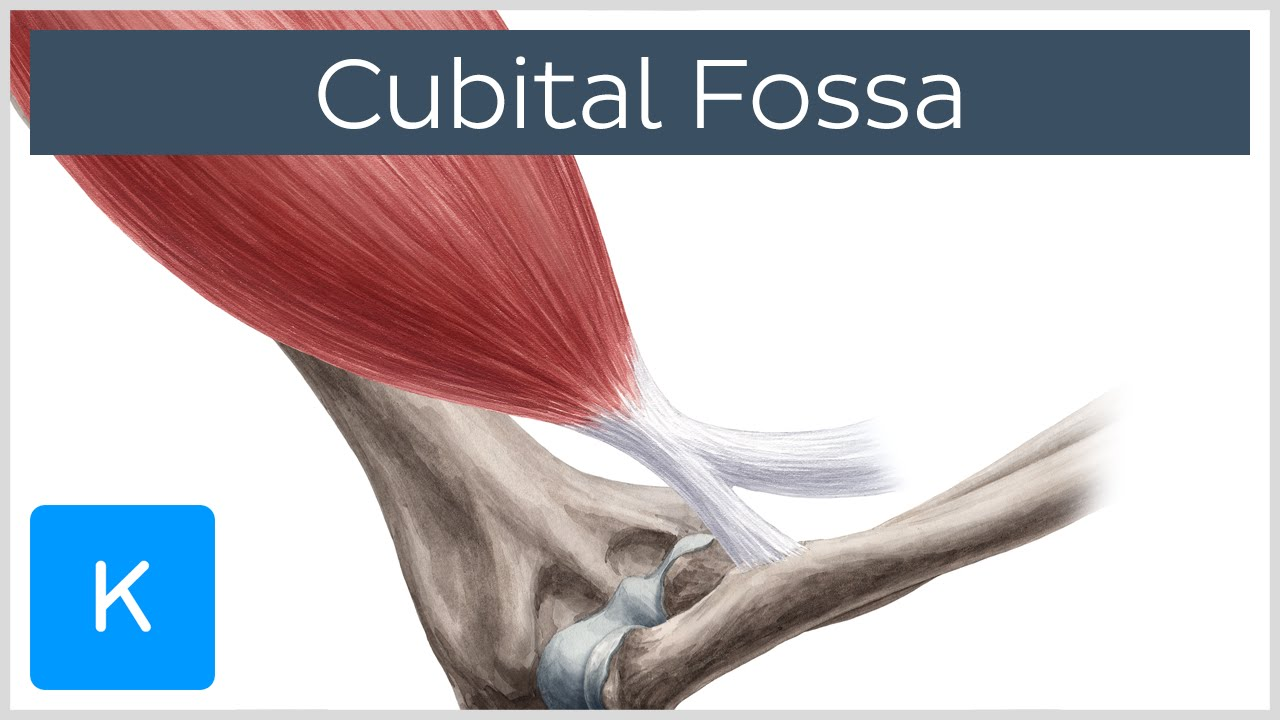 Cubital Fossa Location Borders Human Anatomy Kenhub Youtube
