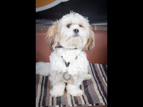 Ralph  Shih Tzu x Bichon  2 Weeks Residential Dog Training