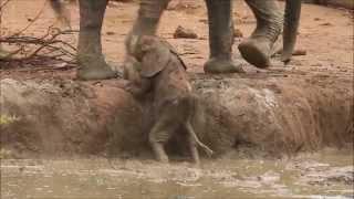 Touching Video of Elephants Helping a Calf Out of a Waterhole. በድንገት ኩሬ ውስጥ ገብታ መውጣት ያቃታትን የዝ ሆን ልጅ