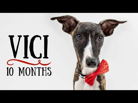 Vici - 10 months Whippet! Tricks and fun :)