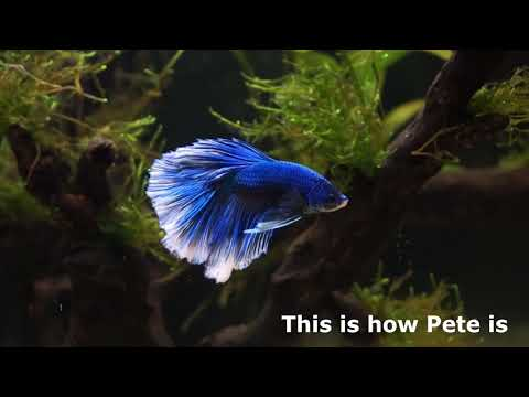 Betta Fish Before And After Epsom Salt Bath