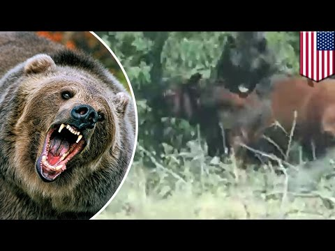 Grizzly bear attacks cow in Wyoming near Yellowstone National Park - TomoNews