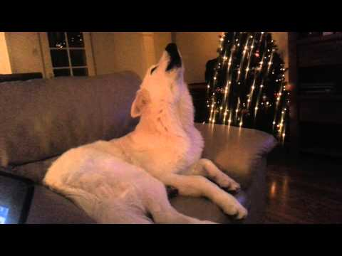 Hond huilt mee met ambulance