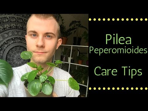 Pilea Peperomioides Care Tips