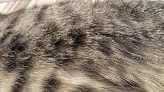 Шотландские котята шевелятся в животе у мамы
