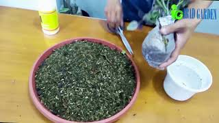 Tanaman Hias Indoor Begonia bunga pink daun hitam - Begonia double Lady Carol