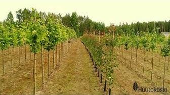Taimisto Huutokoski Oy:n taimituotantoa ilmasta kuvattuna
