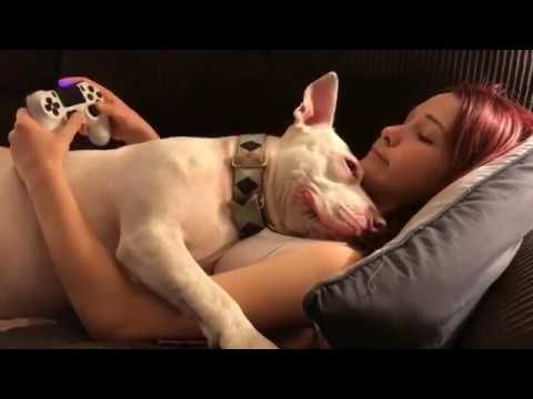 Pitbull interrupts a girl playing Playstation | Dogs are Cute |