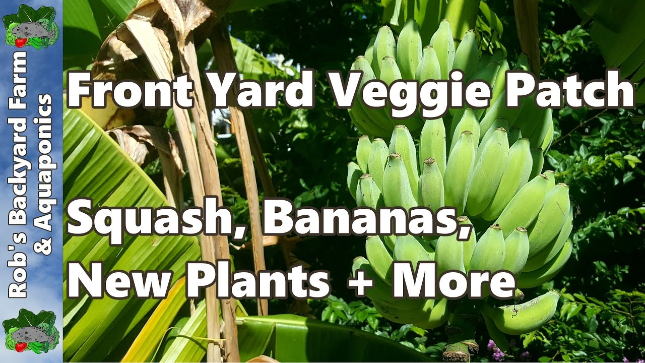 from the garden peas 30 bananas a day farm front yard wicking garden update squash 902