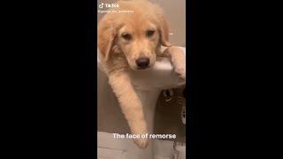 Tiktok guilty dogs