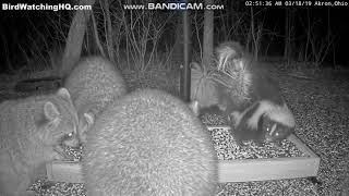 Skunk Fight & Raccoon Jumps In ... Bird Watching HQ Ohio